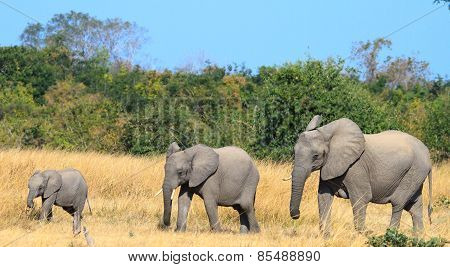 A Family of three elephants walking across the plains in Zambia