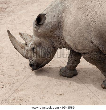 closeup of wild rhinoceros walking on a land poster