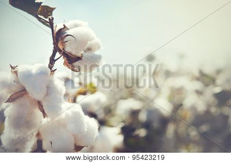 Cotton crop landscape with copy space area