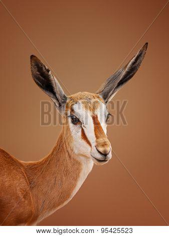 Immature Springbok (Antidorcas marsupialis) portrait - Kalahari desert  (South Africa)