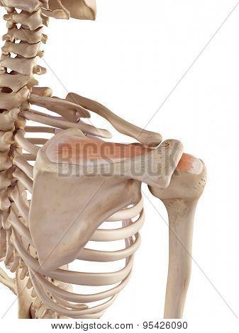 medical accurate illustration of the supraspinatus