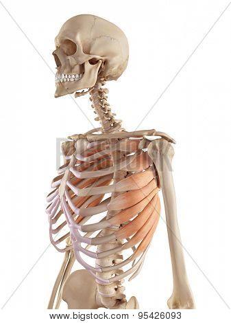medical accurate illustration of the serratus anterior