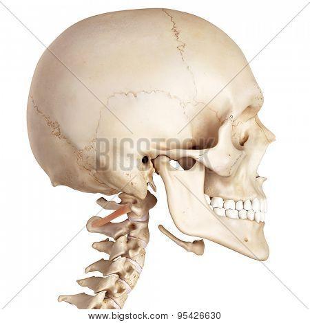 medical accurate illustration of the obliquus inferior capitis