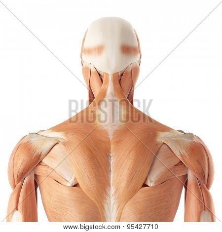 medical accurate illustration of the upper back muscles