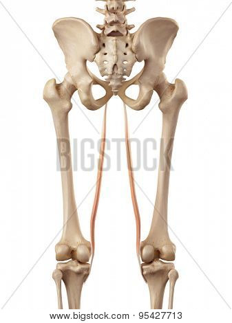medical accurate illustration of the gracilis