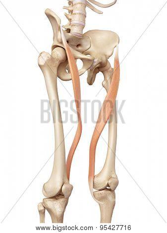 medical accurate illustration of the sartorius