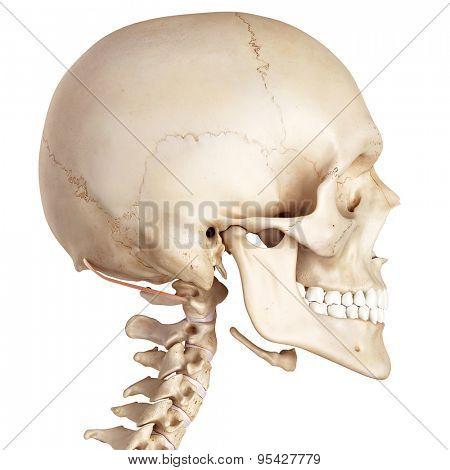 medical accurate illustration of the obliquus superior capitis