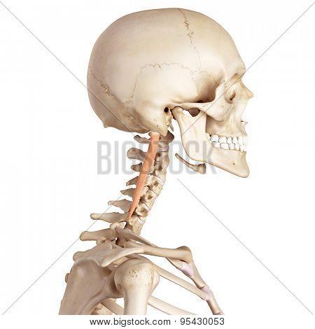 medical accurate illustration of the longissimus capitis