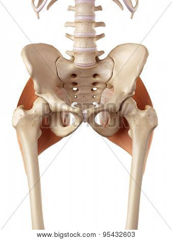 medical accurate illustration of the gluteus maximus