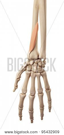 medical accurate illustration of the extensor pollicis brevis