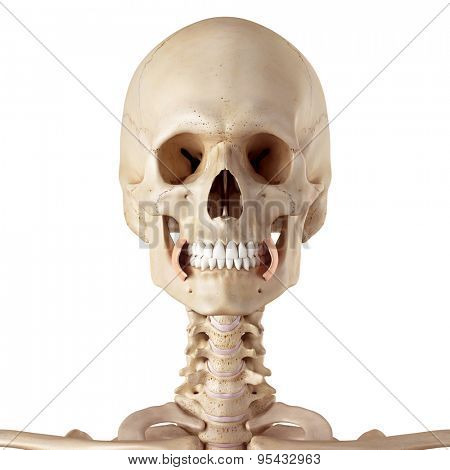 medical accurate illustration of the buccinator