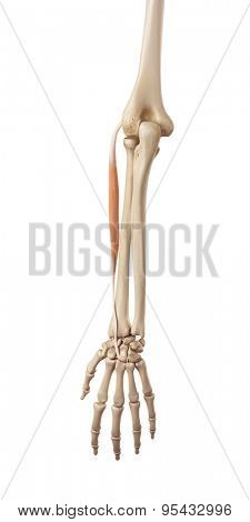 medical accurate illustration of the extensor carpi radialis brevis