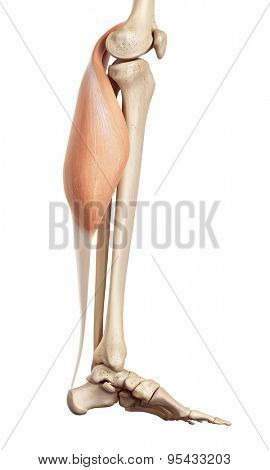 medical accurate illustration of the gastrocnemius