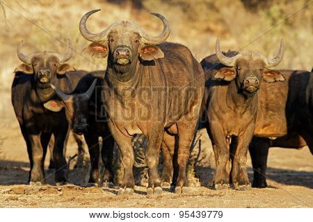 African or Cape buffaloes (Syncerus caffer), South Africa