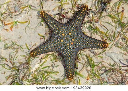 Colorful green and yellow starfish on wet sand, Zanzibar island