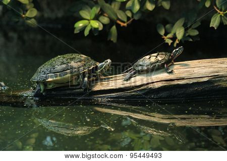 River cooter (Pseudemys concinna hieroglyphica) and Eastern painted turtle (Chrysemys picta picta). Wild life animal.
