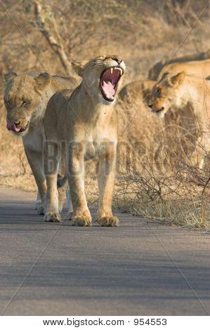 Lioness Yawn