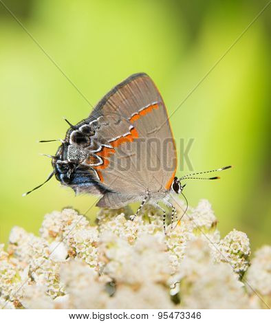 Red-banded Hairstreak feeding on a white wildflower