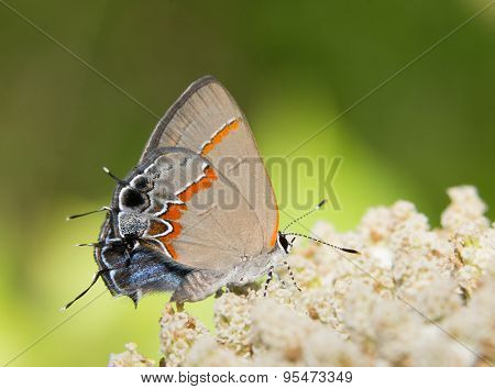 Tiny Red-banded Hairstreak butterfly, Calycopis cecrops, resting on a white wildflower