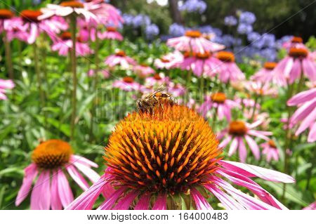 Echinacea flower with an interested bee in garden bed