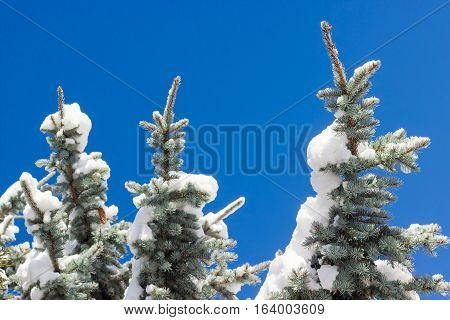 Branches of a blue spruce partly covered with snow closeup against the backdrop of a blue sky