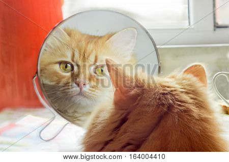 Reflection of the red cat carefully looking in round mirror closeup