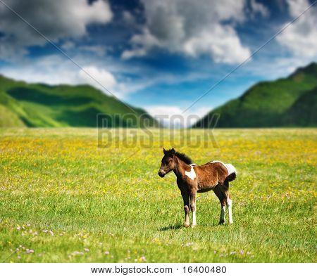 Little foal on mountain grassland