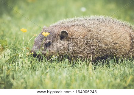 groundhog, woodchuck, marmot, groundhog day, animals, baby, brown, calendar, carrot, chubby, curious, cute, dirt, eat, feed, funny, fur, furry, garden, gopher, grass, ground, groundhog, hole, isolated, look, mammal, marmota, monax, nature, prairie, small,