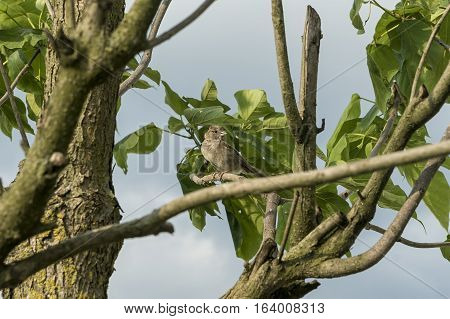 Sparrow on tree branch with green lievs
