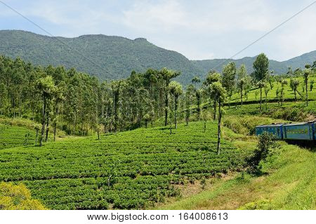 Tea plantations seen during the journey by train by Sri Lank
