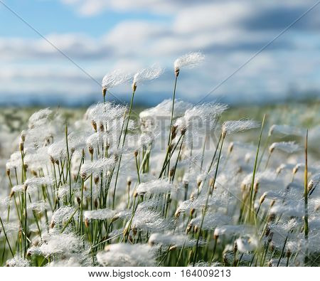 Plant cotton grass in the wind in Siberian tundra