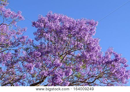 Purple Jacaranda tree in bloom against a blue Australian sky