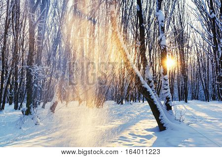 Beautiful morning scene in the park with snow falling form the tree rising sun and sunrays