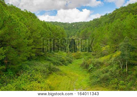 Glade with fur-tree in a Pine forest - lush green texture