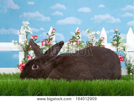 Brown black bunny laying sideways to viewers left in green grass in front of a white picket fence with small pink roses. Blue background sky with clouds. Copy space.