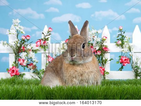 brown dwarf rabbit sitting in green grass facing viewer. White picket fence with small pink roses. Blue background sky with clouds. Copy space.