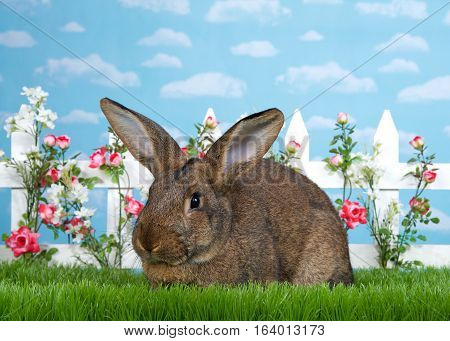 Large brown rabbit laying in tall green grass next to white picket fence with small pink roses. Blue background sky with clouds. Copy space.