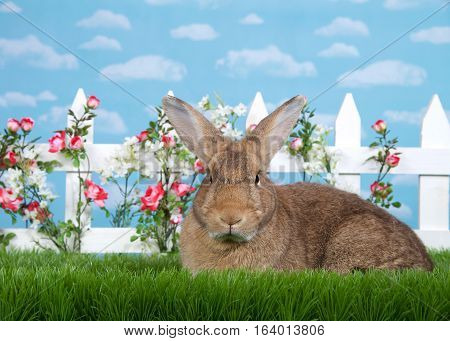 brown rabbit sitting in green grass sideways facing viewers left but looking at viewer. White picket fence with small pink roses. Blue background sky with clouds. Copy space.