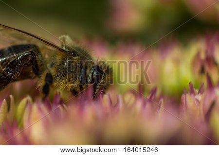 A honeybee on a flower in the garden