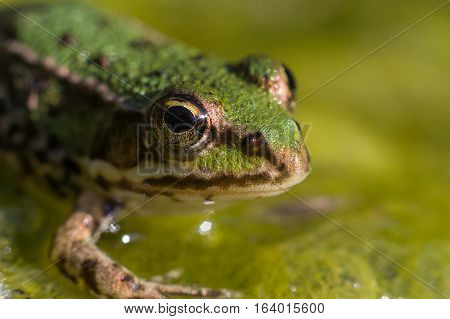 The frog in the water looks at me