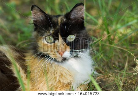 Close-up portrait of three colored cat having rest in the grass.