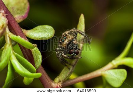 jumping spider is eating the results in the petiole