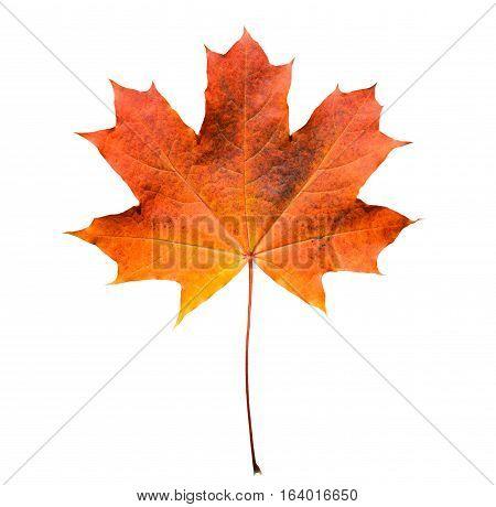 Golden orange and red maple leaf isolated white background. Beautiful autumn maple leaf isolated on white. Fall leaf