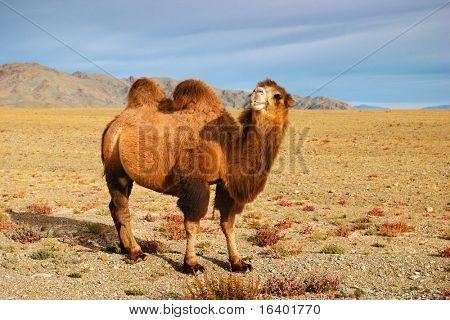 Bactrian camel in mongolian desert