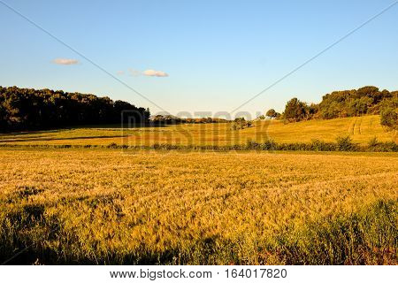 Yellow Wheat Field Cereal And Sunset