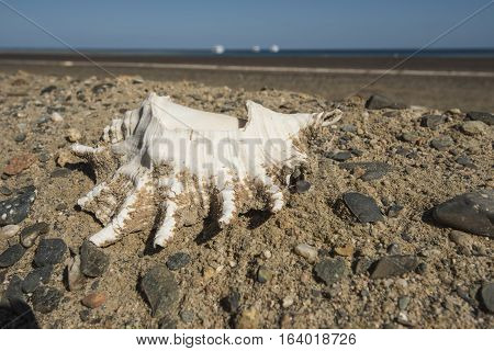 Conch Seashell On Side Of Road With Sea In Background
