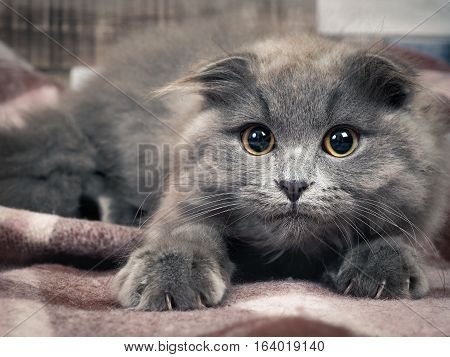 Grey kitten with sharp claws a round yellow eyes and tufts on the ears