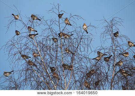 Fieldfares (Turdus pilaris) in winter. Wild birds  on tree