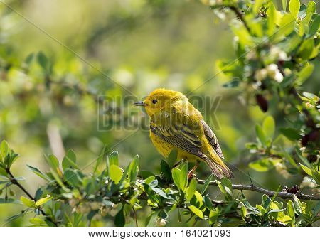 Yellow warbler perched on a barberry bush in late spring