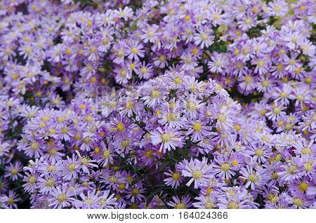 Beautiful flower blue aster in the autumn garden